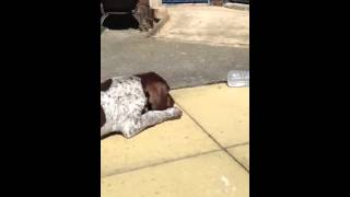 German Shorthaired Pointer Puppy Barking.