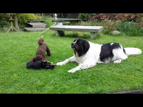 Miniature poodle Bo and chihuahua Pepper playing, landseer Luna is the referee