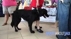 Watch MATT ABOUT JAX: The Labrador Retriever Rescue of Florida