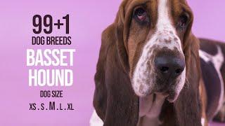 Basset Hound / 99+1 Dog Breeds