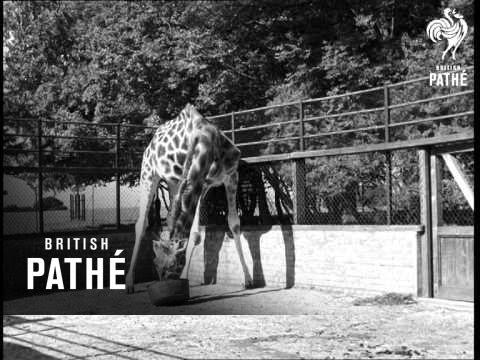 Giraffes (1940-1949)