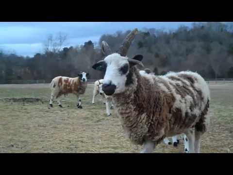1 Day Old Jacob Sheep Lambs ..