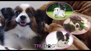 The Ultimate Guide to the Papillon Dog