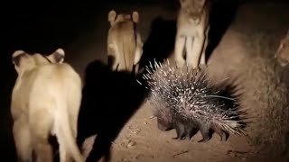Porcupine fighting off SEVENTEEN lions