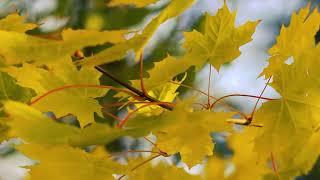 Осенние листья клёна (желтые листья 1 сентября) | Футажи Красивая природа [FullHD]