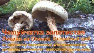 Чешуйчатка золотистая опята гриб сибирь тайга Лекарственные растения полей и лесов тихая охота грибы
