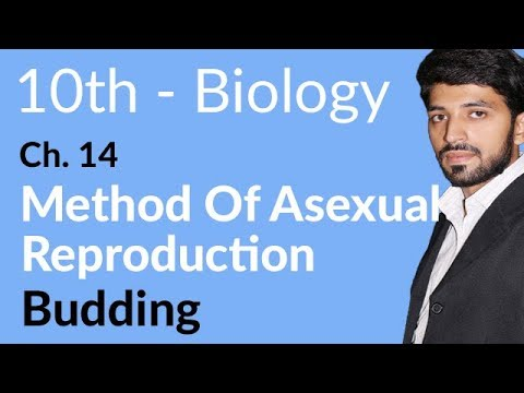 Budding - Biology Chapter 14 Reproduction - 10th Class