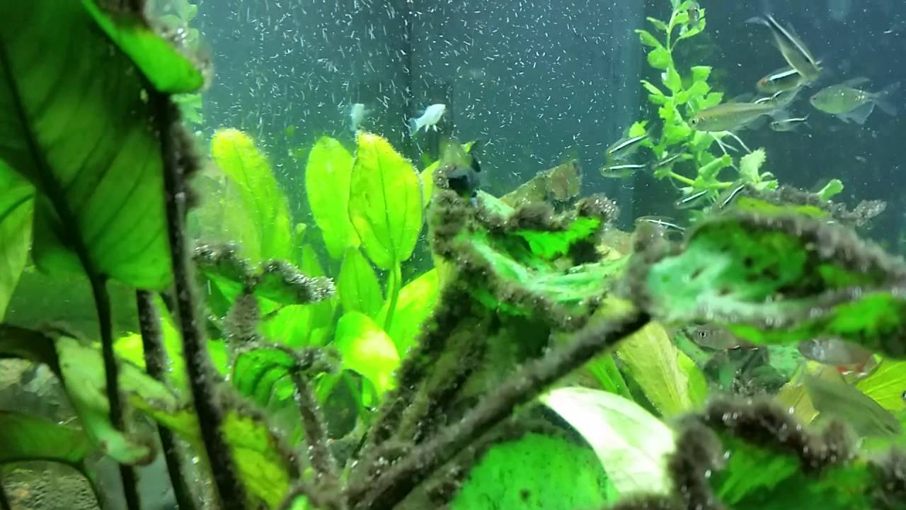 Black Mollies Eating Black Beard Algae Youtube