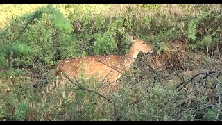 A pair of beautiful Spotted Deers seen near Bannari checkpost at Sathyamangalam Tiger Reserve Forest