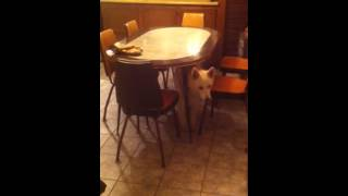 So Funny, My Husky Stuck Under Table
