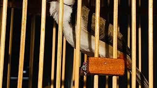 นกหัวจุกเบิ้ลเพลงเวียดนาม เบิ้ลอาชีพ ลูกนกติดเพลงชัว100%