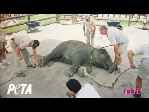 PETA Exposes Ringling Bros Cruelty In New Video