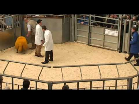 Stirling and Perth Ram Society Annual Sale of Blackface Shearling Rams and Ram Lambs 6/10/12 (New)