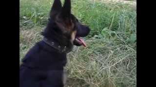 дрессировка щенка немецкой овчарки 4,5 месяца