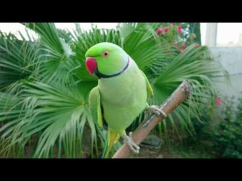 Natural Parrot Voices