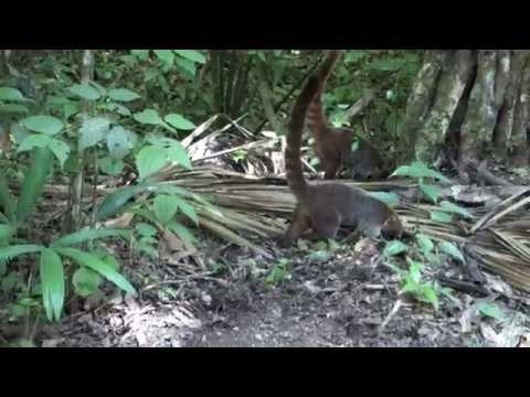 Coatimundi's in Tikal, Guatemala (Jungle Raccoons)