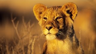 African Lions On Verge Of Extinction