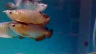 arowana fish 2
