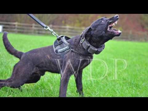 Dutch Shepherd Litter - Extremus Indi BRN 21038 x Rage BRN 26658