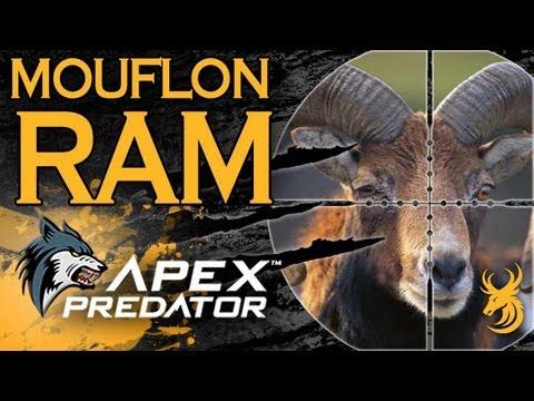 Apex Predator: Mouflon Ram In The Czech Republic