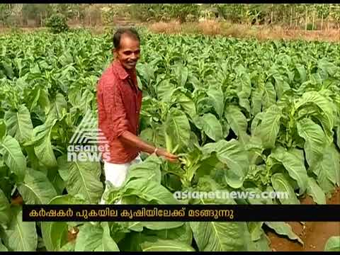 Kasaragod farmers switch to tobacco production