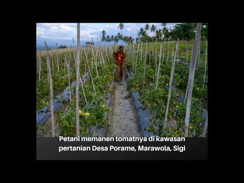 Lagi, Harga Tomat Terjun Bebas