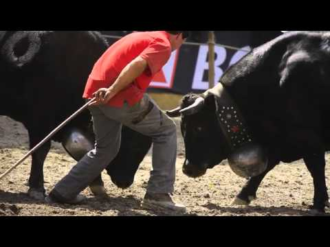 Battle of the Queens – Switzerland's Ultimate Cow Fighting Championship