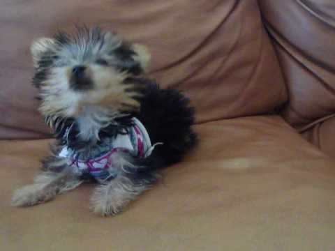 Extra Micro Teacup Yorkie For Sale Under 15 Lbs Youtube