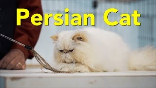 The Persian Cat at a TICA Cat Show