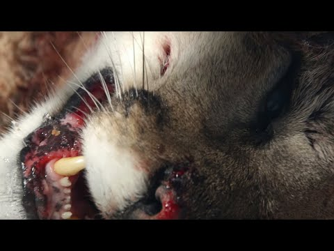 Mountain Lion Mother Is Killed | BBC Earth