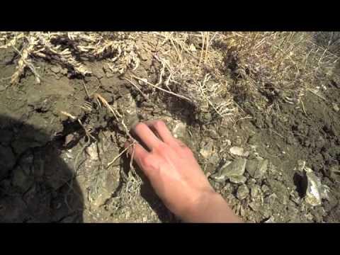 Dinosaur Paleontology--Bearpaw Shale