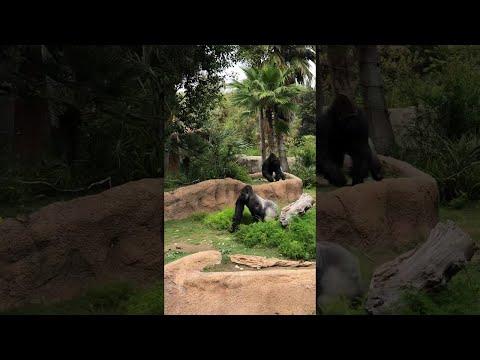 Silverback Gorilla Chase || ViralHog