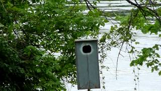 Wood Ducks Hatching On Mississippi River, Champlin Mn