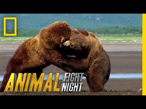 Get Ready For Grappling Grizzlies | Animal Fight Night