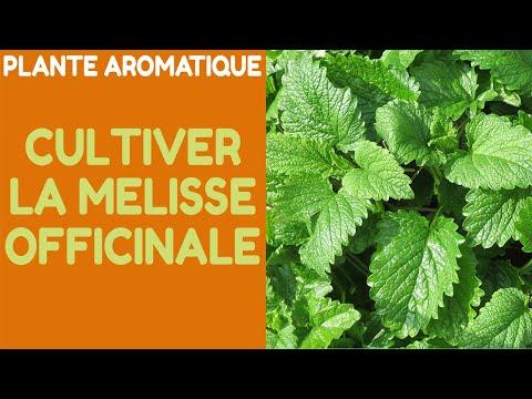 Plante Aromatique : La Culture De La Mélisse Officinale (Melissa Officinalis)