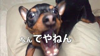 関西のしゃべる犬 代表 力田力男でございます! ミニチュアピンシャーの...