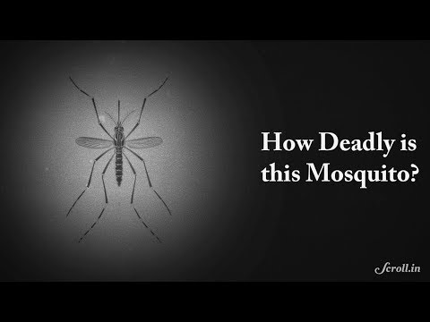 Aedes Aegypti: The Killer Mosquito