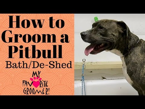 How to bathe a Pitbull that hates water