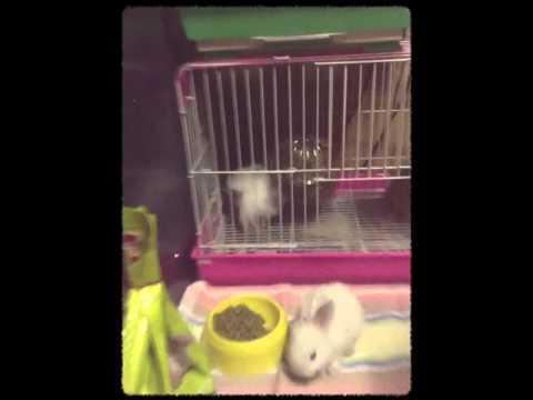 กระต่ายแคระ+แกสบี้