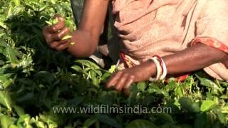 Assam tea garden workers plucking tea leaves