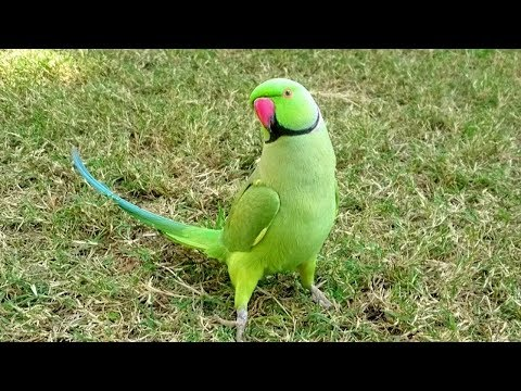 Happy Parrot Sounds