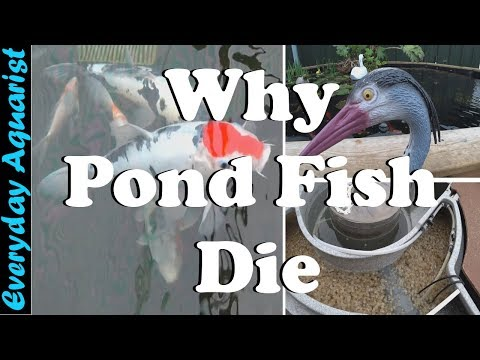 3 Reasons Pond Fish Die | Goldfish & Koi