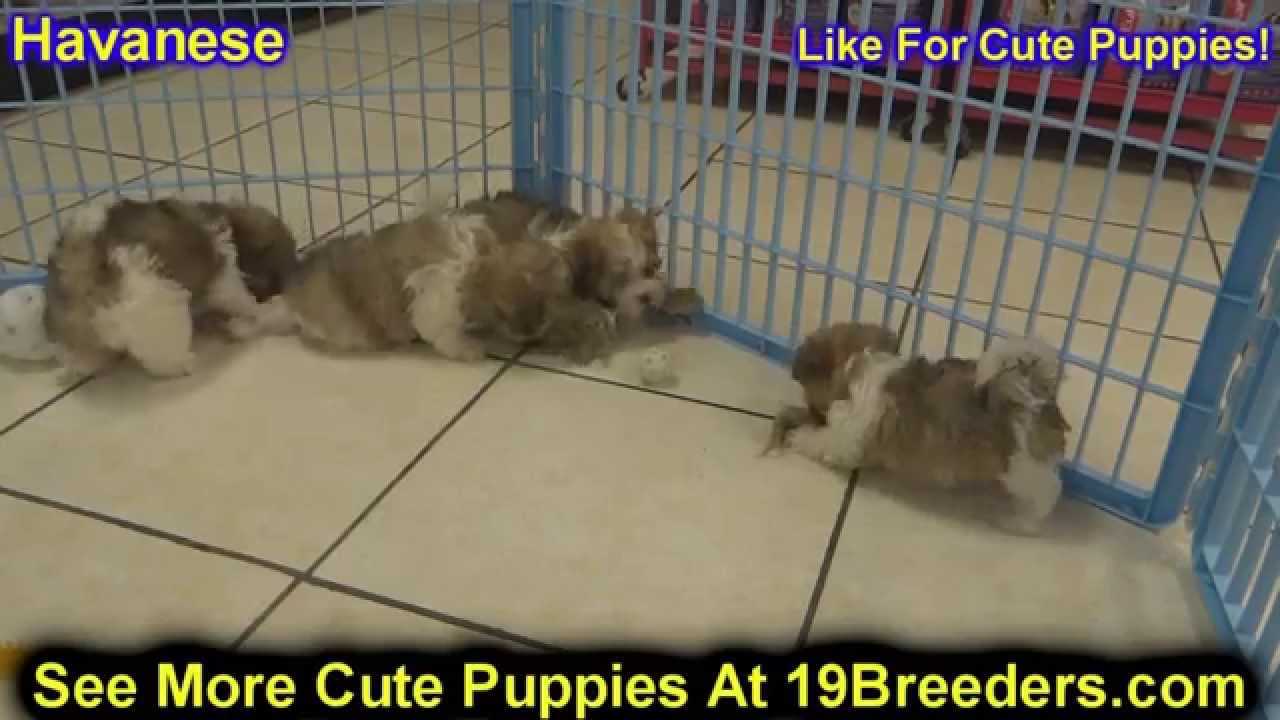 Havanese Puppies For Sale In Des Moines Iowa Ia Bettendorf