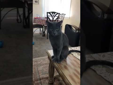 "Russian blue cat ""Monster"""