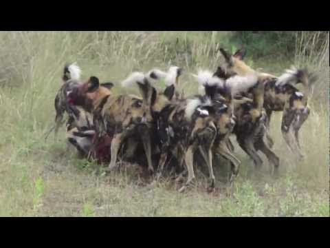 African Wild Dog Hunting in Botswana