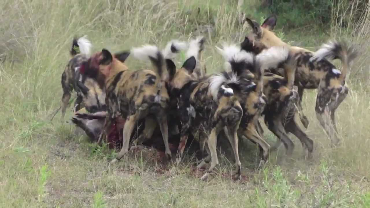 African Dog Collars
