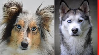 These Are 10 Dog Breeds With Blue Eyes