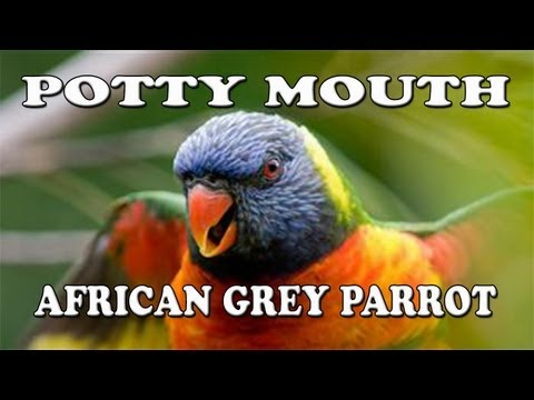 "African Grey Parrot ""Potty Mouth"" (Filthiest Bird Ever)"
