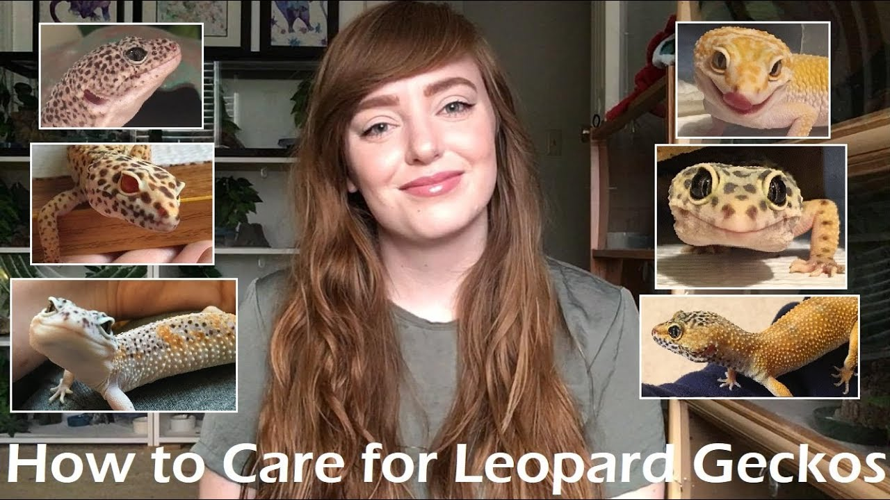 Leopard Gecko Care A Complete Care Guide Youtube