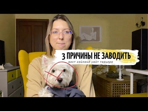 МИНУСЫ ПОРОДЫ ВЕСТ ХАЙЛЕНД УАЙТ ТЕРЬЕР // ОСОБЕННОСТИ ПОРОДЫ